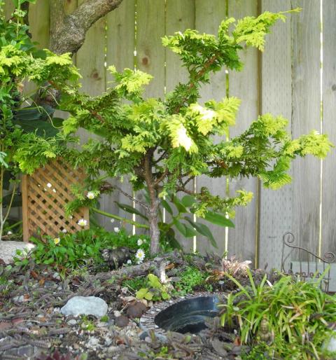 Miniature Garden Tree, Fernspray Gold Hinoki Cypress
