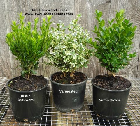 Baby Boxwood for the Miniature Garden
