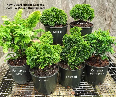 Dwarf Hinokis  for the Miniature Garden