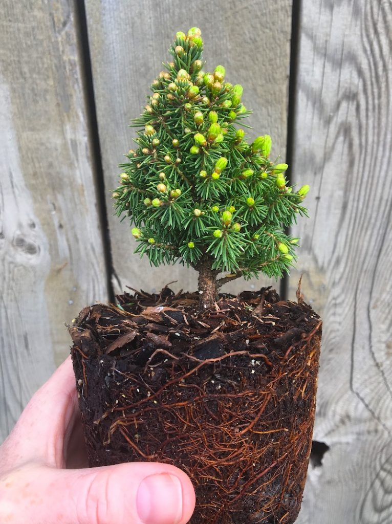 Miniature Garden Pixie Spruce