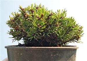 Short Needle Mugo Pine. Pinus mugo 'Short Needle.'