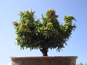 "Miniature Garden Tree, the Canada Hemlock ""Hornbeck"""